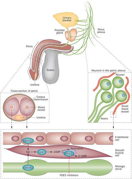圖片來源:Katzung - Farmacologia generale e clinica, Piccin 2011